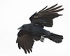 Birds - General : Picturs of birds other than Common Ravens which have their own gallery.