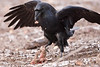 Ravens 2009 November 1st high ISO : Pictures of ravens taken 2009 November 1st. Shot with Canon 1DIIN 300mm lens. Shot at ISO 1600. Processed in lightroom.